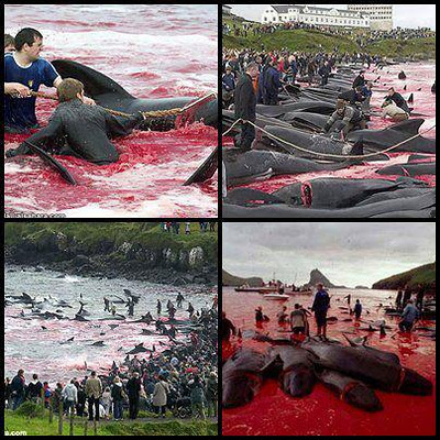 denmarks-faroe-islands-observes-grindadrap-tradition-mass-whale-killing-enfvironment-day&گریندارب اسکاندیناوی